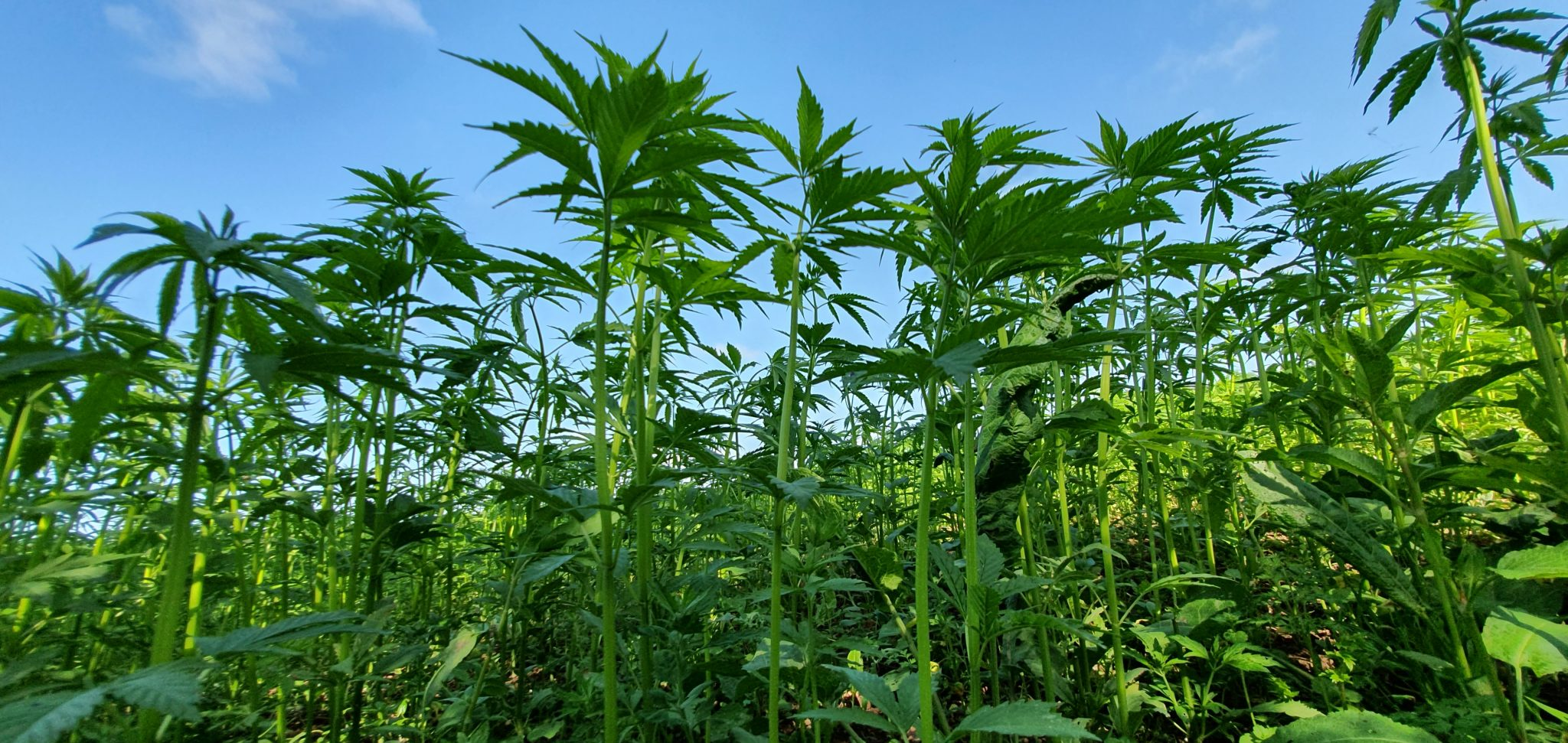 Hemp plants growing under home office licence near market harborough